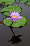 Lily. With reflexion in watter Stock Image