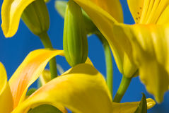 Lily. Soft lily flower, yellow and blue Royalty Free Stock Image