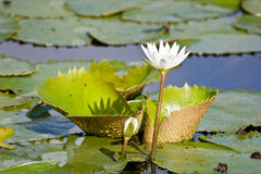 Lily. Water lily in the pond, Dominican republic royalty free stock images