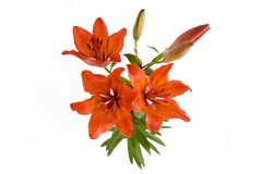 Lily. Red lily with three flowers on the white background stock images