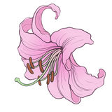 Lily01 Arkivbild