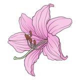Lily02 Royaltyfri Bild