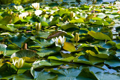 Lily. In watter at early morning Royalty Free Stock Photography