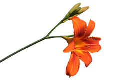 Lily. Orange lily isolated on white royalty free stock image