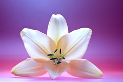 Lily. Close up view of nice fresh Madonna lily flower Stock Photo