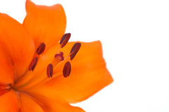 Lily. Orange lily, space for messages Stock Photography