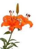 lily Obrazy Stock