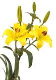 lily Obraz Stock