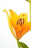 lily Fotografia Royalty Free