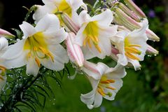 lily Fotografia Stock
