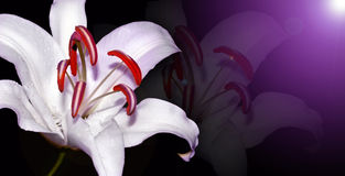Lily. White lily on dark purple background; This can be the flower for easter Stock Images