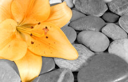 Lily. Beautiful blossom of a lily flower with little stones Royalty Free Stock Image