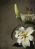 Lily. White lily on the background royalty free stock photos