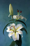 Lily. White lily on the blue background royalty free stock images