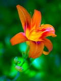 Lily. Royalty Free Stock Photography