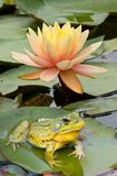 lily żab Obraz Royalty Free
