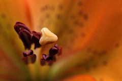 Lily - abstract macro from the top. Asiatic lily, abstract macro from the top with focus on the stamen. shallow depth of field Stock Images
