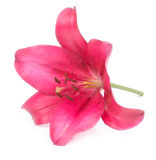 Lily against white background Stock Photography