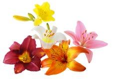 Free Lily And Daylily Stock Photo - 5742720