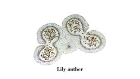 Lily anther micrograph Royalty Free Stock Photography