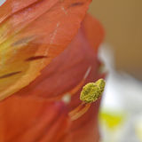 Lily anthers Stock Photos