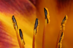 Lily anthers macro. With a burst of color. shallow depth of field Royalty Free Stock Images