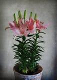 lily azjatyckiej Zdjęcia Royalty Free
