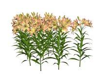 lily azjatyckiej Fotografia Stock
