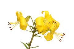 lily azjatyckiej Zdjęcie Royalty Free