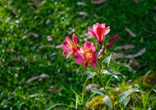 Lily of the Aztecs, a type of Peruvian Lily. Blooms along a rural roadside garden in central Sri Lanka stock photos