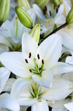 Lily background Stock Photography
