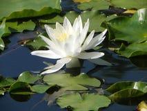 Lily Beacon Of The Pond stock afbeeldingen