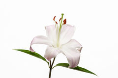 Lily. Beautiful flower open petal. Bright white bloom blossom. Blooming flower on isolated white background Stock Image