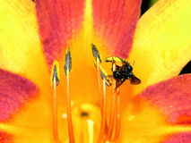 The lily and the bee. A close up from a lily and a bee Royalty Free Stock Photos