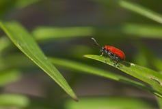 Lily Beetle Lizenzfreie Stockbilder