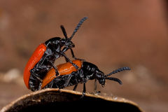 Lily beetle mating Royalty Free Stock Photography