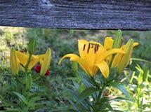 Lily Below jaune une barrière en bois âgée images stock