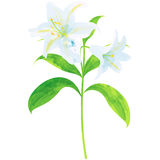 Lily - birth flower vector illustration in watercolor paint text Stock Images