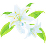 Lily - birth flower vector illustration in watercolor paint text Stock Photo
