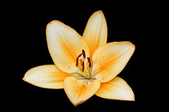Lily On Black Background. Orange lily on black background in close up detail Royalty Free Stock Images