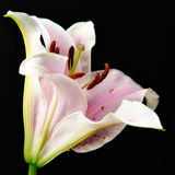 Lily on black II Stock Photography
