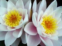 lily bliźniaków wody Zdjęcia Stock