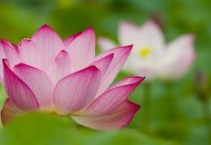 lily, blisko wody Obraz Royalty Free