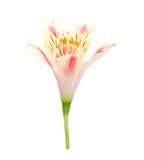 Lily bloom Stock Images