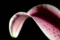 Lily bloom. Detail shot of a liliy bloom royalty free stock images