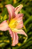 Lily in bloom stock images
