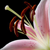 Lily in bloom  stigmas and anther Stock Photos