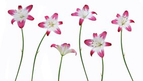 Lily blooming Royalty Free Stock Photo
