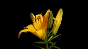 Lily Blooming Timelapse asiática amarela Fotos de Stock Royalty Free