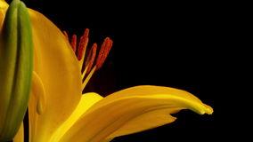 Lily Blooming Timelapse asiatique jaune Image stock